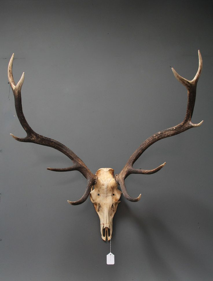 LARGE Red Deer Antlers // The Weird & Wonderful
