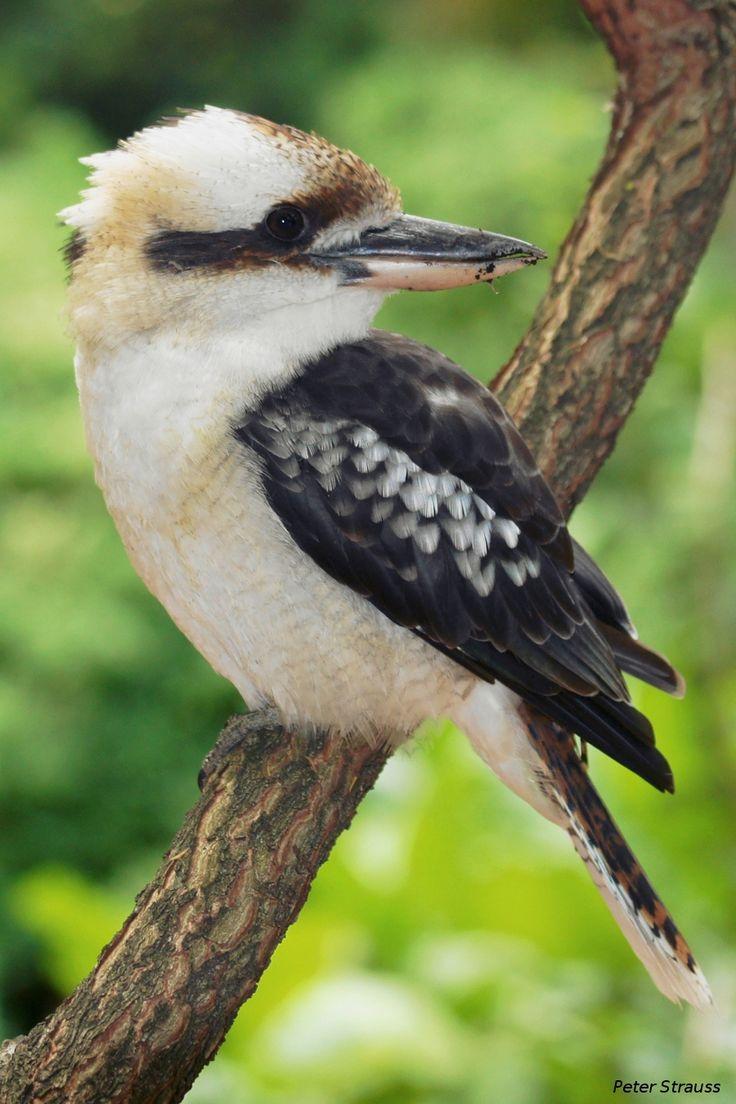 20 Best Tasmanian Birds Images On Pinterest