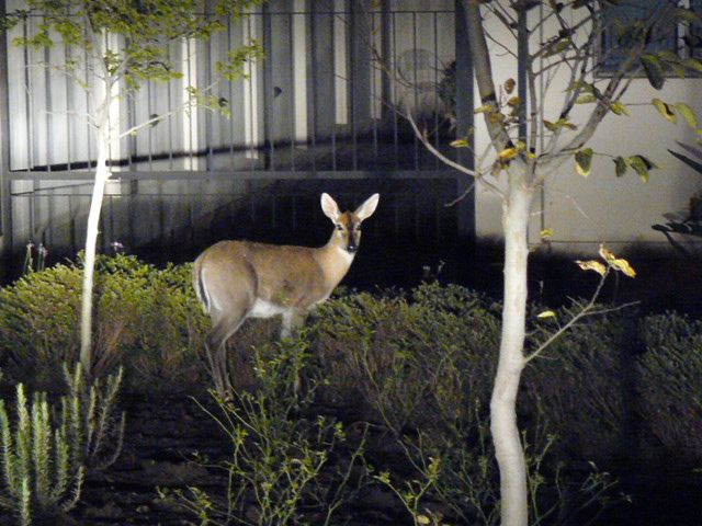 A Duiker spotted near one of the houses in Midstream. For more information visit www.midrand-estates.co.za