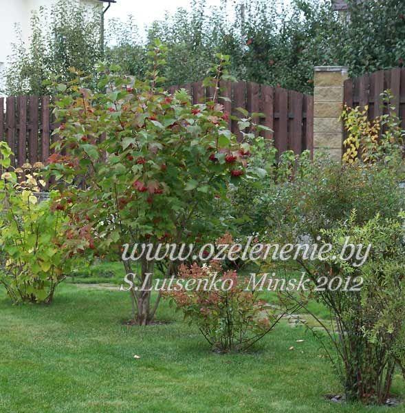Калина обыкновенная (садовая) viburnum_kalina.jpg (589×600)