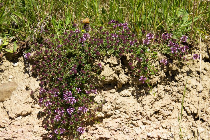 #Thymus #pulegioides Name also: #Broadleaved #Thyme, Larger Wild Thyme, Large Thyme, #Lemon Thyme Thymes have been used in the home in many ways, from making cough medicine to attracting a husband to exorcising the Devil.