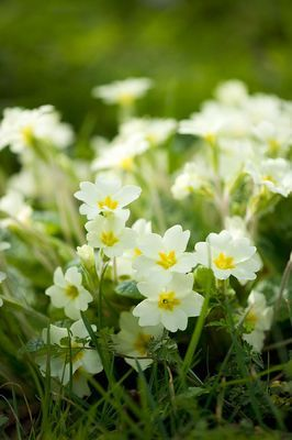 23 best wild flowers images on pinterest wild flowers vegetable rosettes of evergreen leaves all year round with a profusion of creamy white flowers mightylinksfo