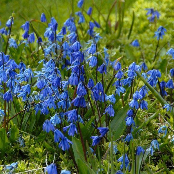 Die besten 25+ blaue Blumen Ideen auf Pinterest Blaue sachen