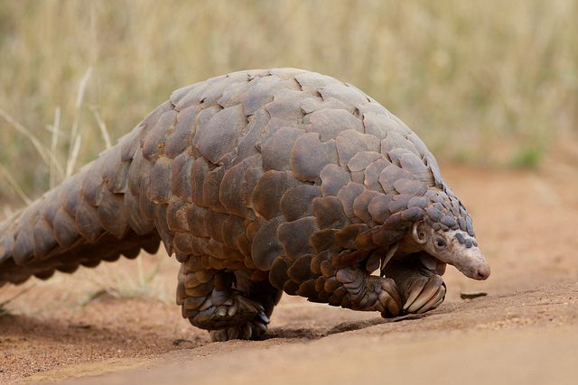 rhamphotheca: Ground Pangolin (Manis temminckii), Madikwe Game Reserve, South Africa. Also known as the Scaly Anteater, it actually walks on its hind feet. It uses its front feet for balance. It is a very rare sight to see since it is primarily nocturnal. They are hunted for their scales (for use in traditional Chinese medicine). photograph by David Brossard | Flickr