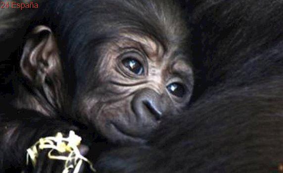 Vídeo: nace en Bioparc Valencia una cría de gorila occidental de costa, especie en peligro de extinción