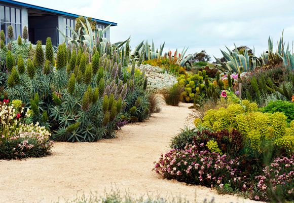 This dramatic garden has been designed with limited rainfall in mind. Huge clumps of Agave americana, with its distinctive pointy leaves, combine well with the lime-green heads of Euphorbia and the bold pink flower spires of sprawling Echium, while Gazanias provide a pretty border in the foreground. The emphasis on form and texture provides an excellent contrast to the clean lines of the contemporary architecture.