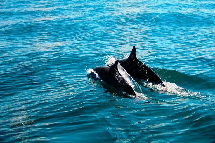 Spinner dolphins, Fiji
