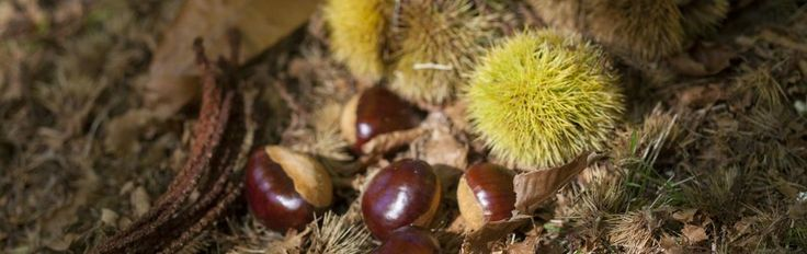 What is a Chestnut?  Chestnuts Australia