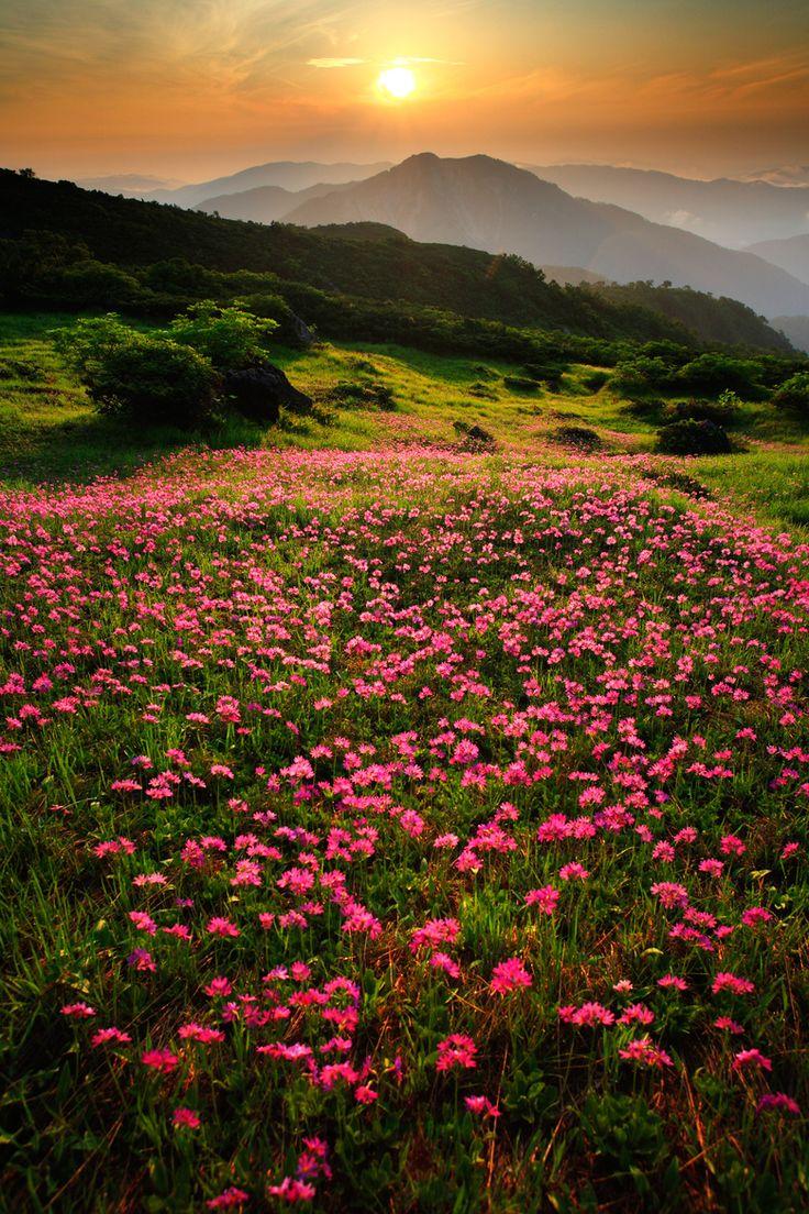 Campo de flores alpinas.