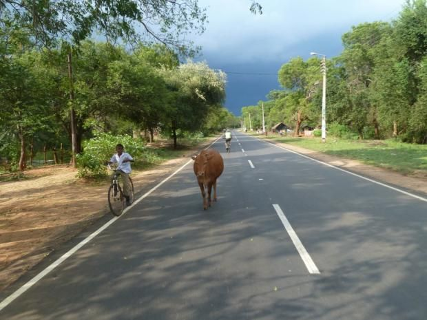 Cow in the road!