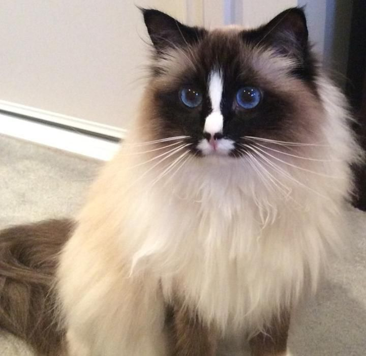 Mismarked Sealpoint Mitted Ragdoll Cat W A Too Large