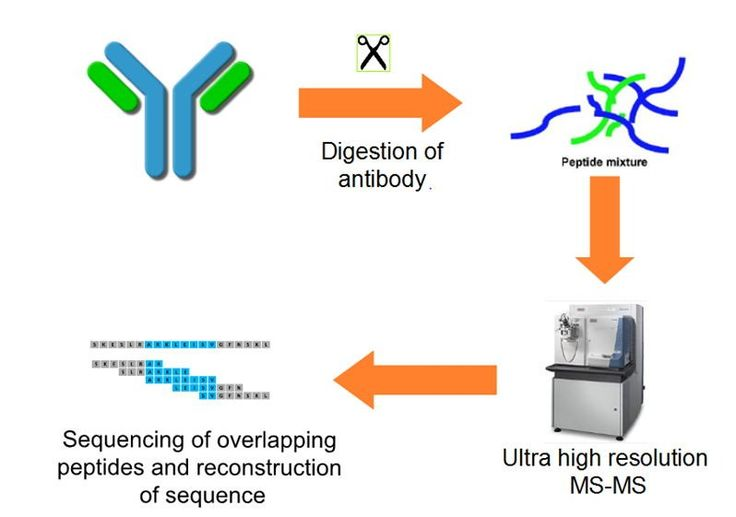 """Creative Biolabs has overcome the current drawback of sequencing based on traditional methods and developed """"Database Assisted Shotgun Sequencing"""" (DASS) technology, which provides de novo antibody sequencing services for research, diagnostic and therapeutic industries. http://www.creative-biolabs.com/next-generation-antibody-sequencing.html"""