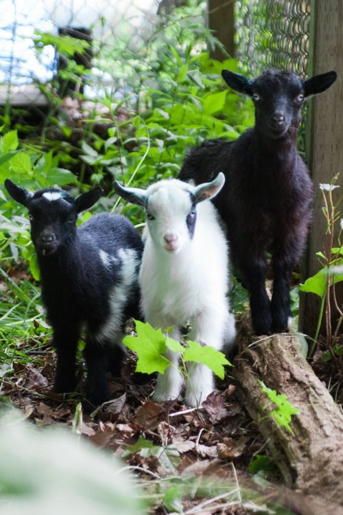 Midget with goat understood not