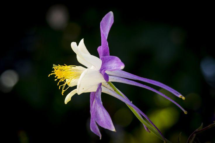 The columbine is Colorado's state flower, and is also native and xeric.