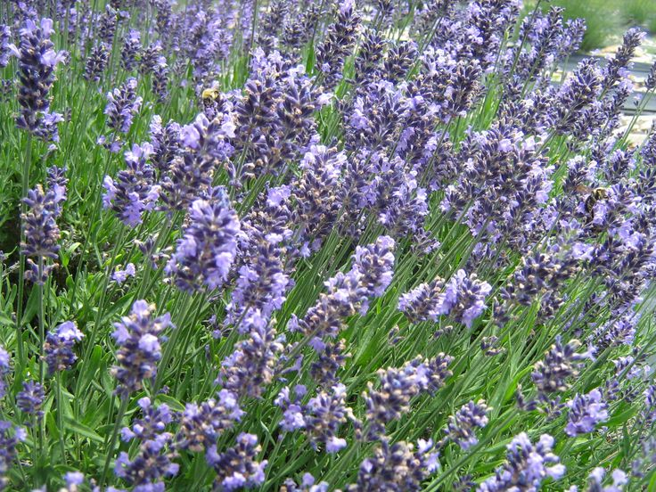 Planting and Caring for Lavender (in the South)