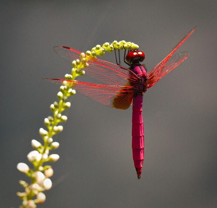 Dragonfly (Trithemis aurora)