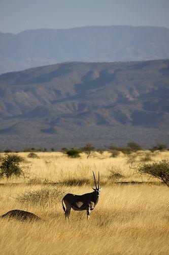 Oryx in the savanna, Awash National Park, Ethiopia. Photo: Eric Lafforgue, via Flickr