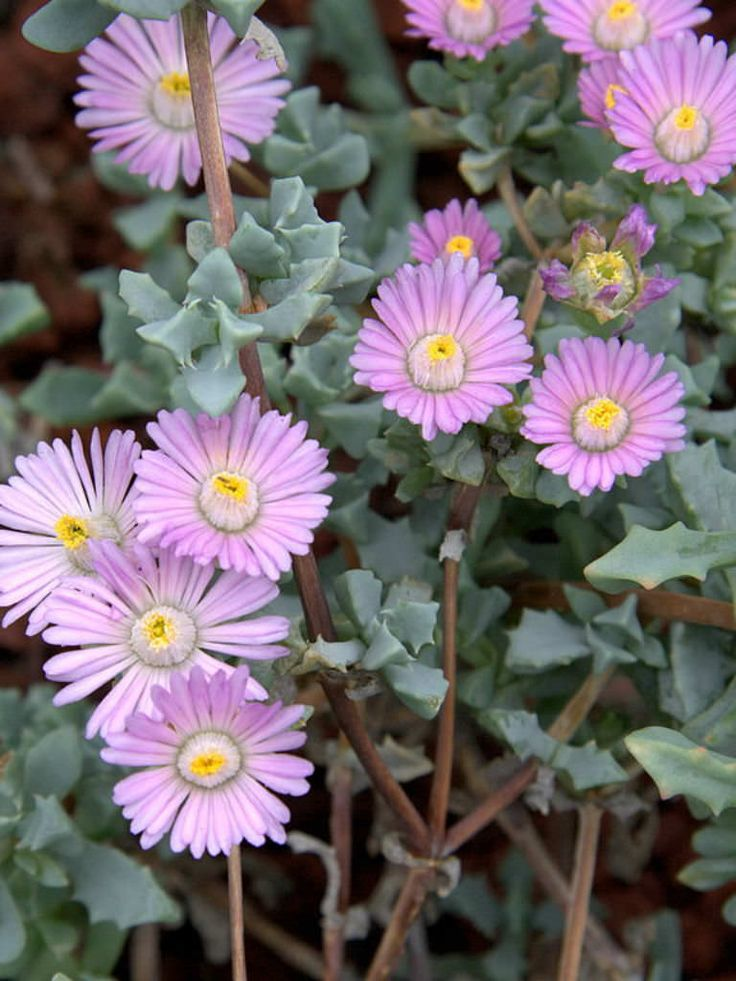 Oscularia deltoides (Deltoid-leaved Dew Plant) is a low growing, gray succulent shrublet. This plant smothers the ground up to 1 foot...
