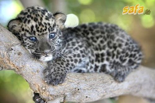 Cuteness overloadCheetahs, Cat, Heart, Animal Kingdom, Exotic Pets, Trees, Baby Animal, Cubs, Baby Leopards