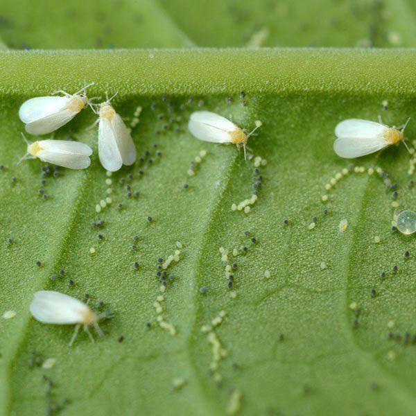 32 Best Bugs Pest Be Gone Images On Pinterest Vegetable Garden Garden Ideas And Gardening