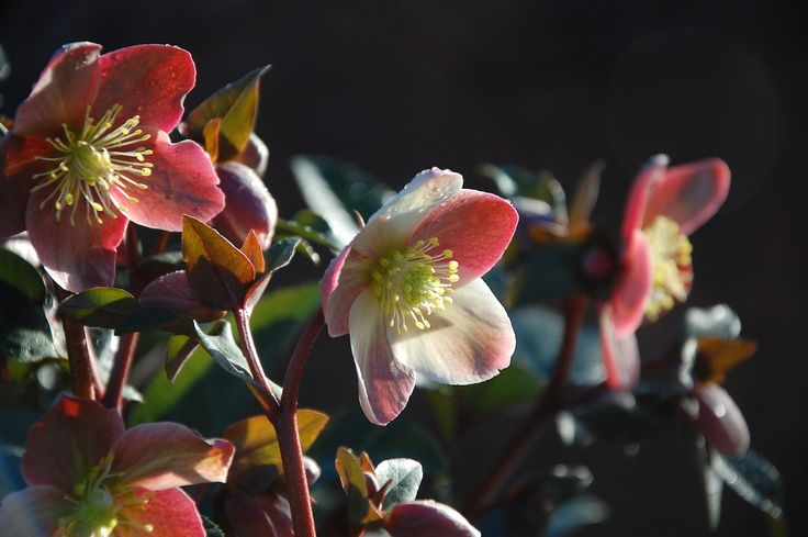 hellebores - available all winter