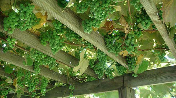 How To Grow Grape Vines On A Pergola Lawn Garden