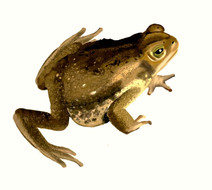 Scientific illustration · Amphibians on Behance