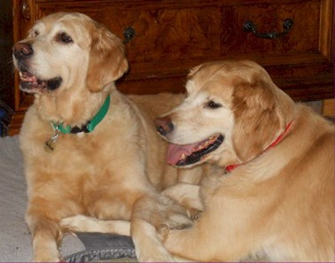 These are Hunter - 7 yrs & Dakota - 8 yrs. They have been together their entire lives and need to be adopted together. Dakota needs to lose a few lbs. They are spayed/ neutered, current on vacciantions, potty trained & have good house manners. If you have room in your heeart & home for a bonded pair they are at Golden Retriever Rescue of Mid Florida.