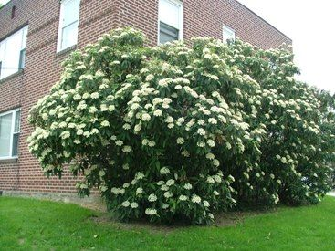 Leatherleaf Viburnum Does Well In Shade Evening Plants For Shady Areas Pinterest Shrubs And