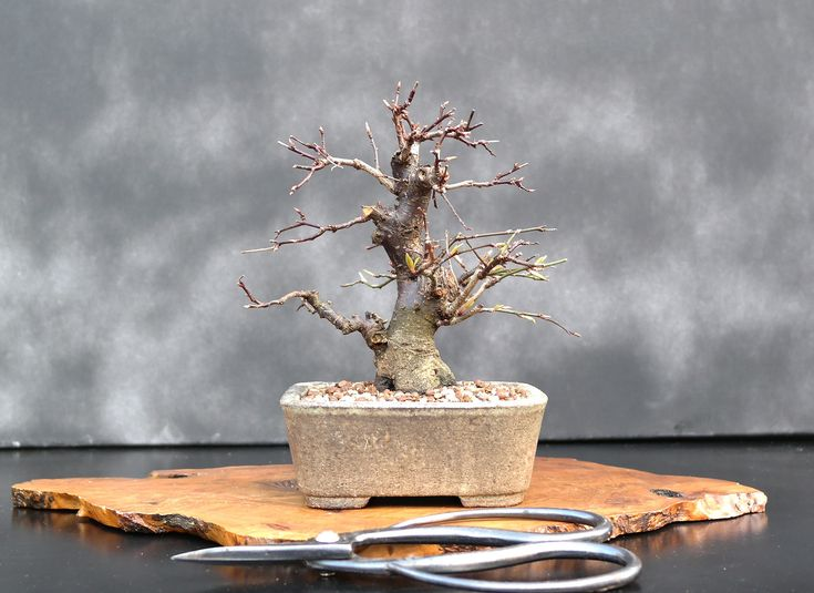 What is the best indoor bonsai tree for beginners?Here are some great choices, most very suitable for beginners:Buddhist Pine. ... Chinese Elm. ... Dawn Redwood. ... Satsuki Azalea. ... Golden Gate Ficus. ... Yew – this evergreen shrub is tolerant to shade and takes to shaping. ... Dwarf Umbrella. ... Bald Cypress.