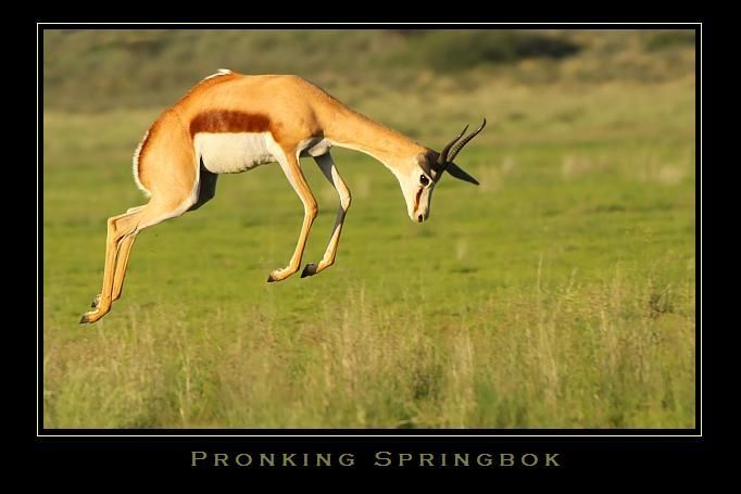 "Springbok often go into bouts of repeated high leaps (up to 13 feet) into the air in a practice known as ""pronking"" (the Afrikaans word pronk means to show off)."