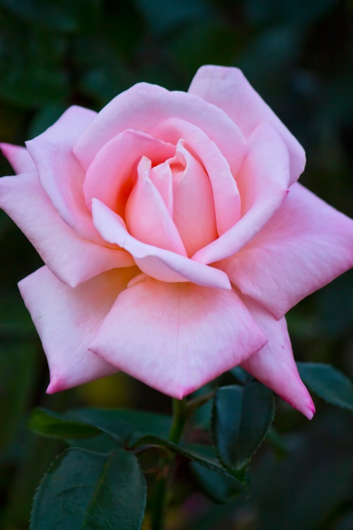 a Rose is a Rose is a Rose! Pink!
