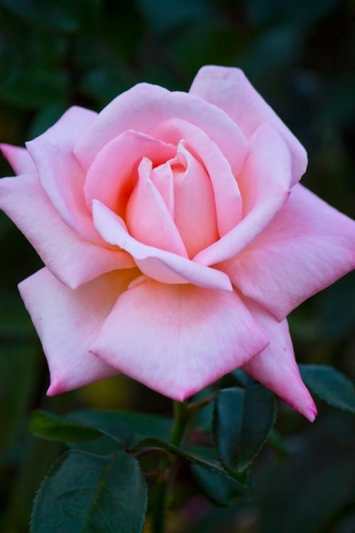 ピンクの薔薇(ニュージーランド)  / Free Stock Photos