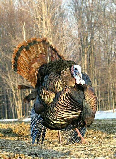 Such a great yard bird, Tom Turkey.