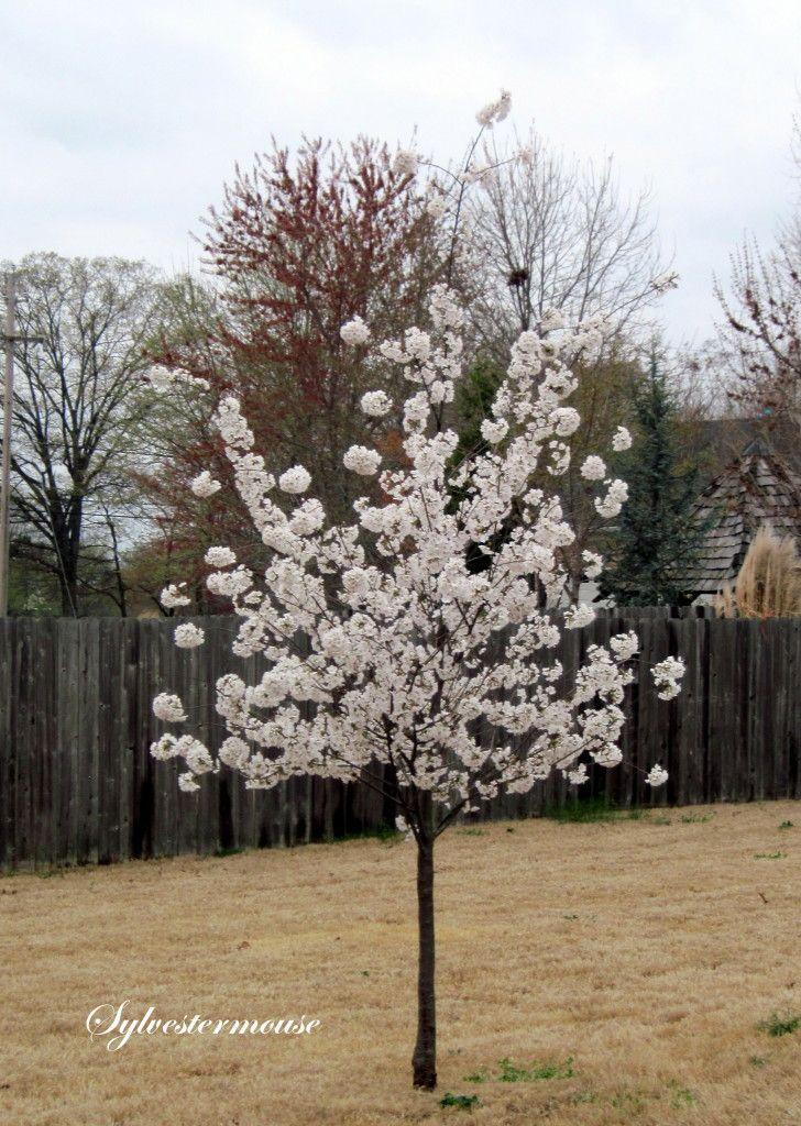 The Yoshino Cherry Tree Easy Backyard Gardening Cherry Trees Garden Yoshino Cherry Tree Ornamental Cherry