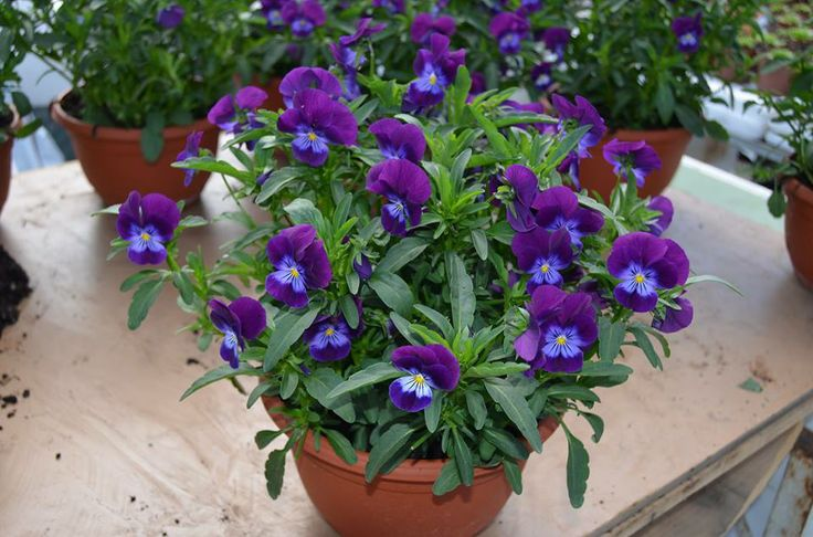 Plantene pottes opp fra en 12 cm. potte til en 20 cm. plastkrukke med eget vannlagring.