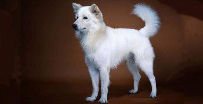 anjing ras asli indonesia