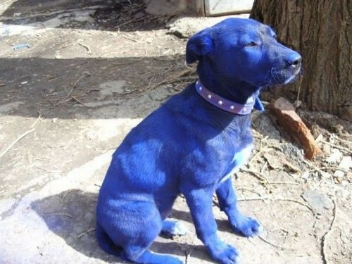 Rumors of a new breed of dog created in a lab was just cracked open and revealed to be….FALSE. Fortunately (or unfortunately for the science fans), no such blue dog was created in a lab but was instead, a result of a puppy having fun with a can of blue paint. Pictures of what happened shown below.