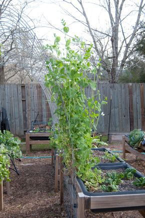 my new sugar snap peas - check out a new way to garden. blog with pics and plans