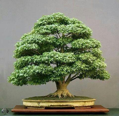 https://i.pinimg.com/736x/26/bd/c8/26bdc82756a966c9d66747acd888c435--bonsai-plants-bonsai-trees.jpg