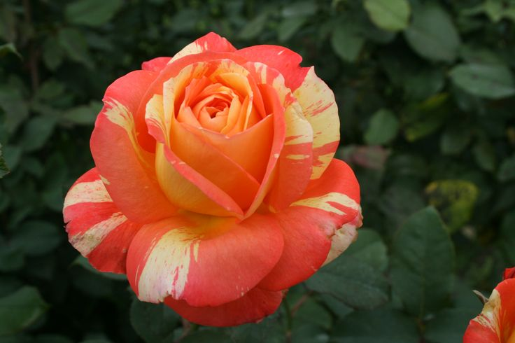 Breathe in, breathe out. Roses are made for noses, and here are the most fragrant ones.