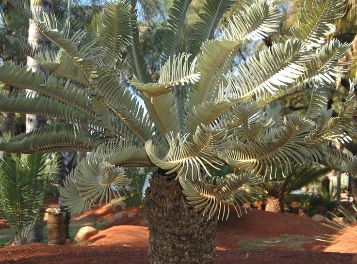 encephalartos hirsutus (hairy)