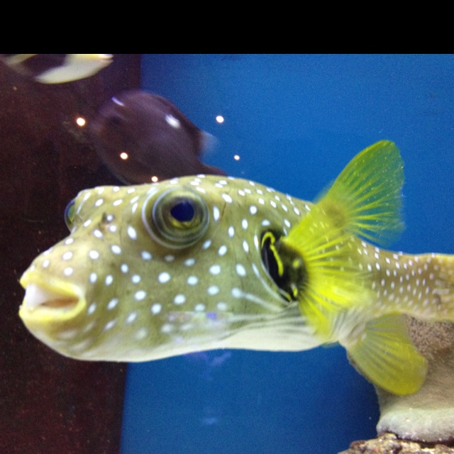 Teeth stripes and dogs on pinterest for Dog face puffer fish