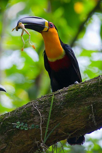 Foto tucano-de-bico-preto (Ramphastos vitellinus) por Joao Quental | Wiki Aves - A Enciclopédia das Aves do Brasil