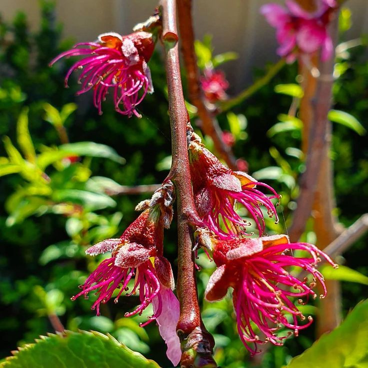 Stage 2 Of The Peach Blossom Is Once They Are Pollinated Usually Self Pollinate Peach Blossoms Growing Fruit Trees Pollination