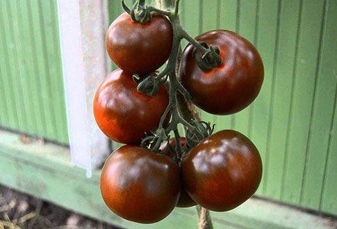 Кумато - чёрные помидоры с самым сладким вкусом