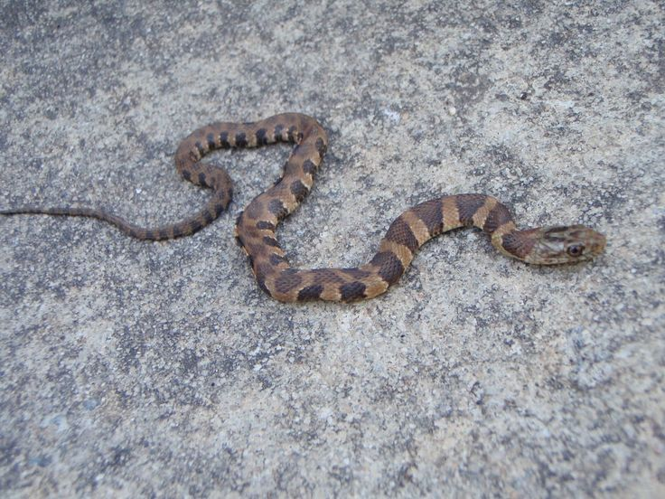 Juvenile Copperhead Snake   Baby Northern Water Snake ...