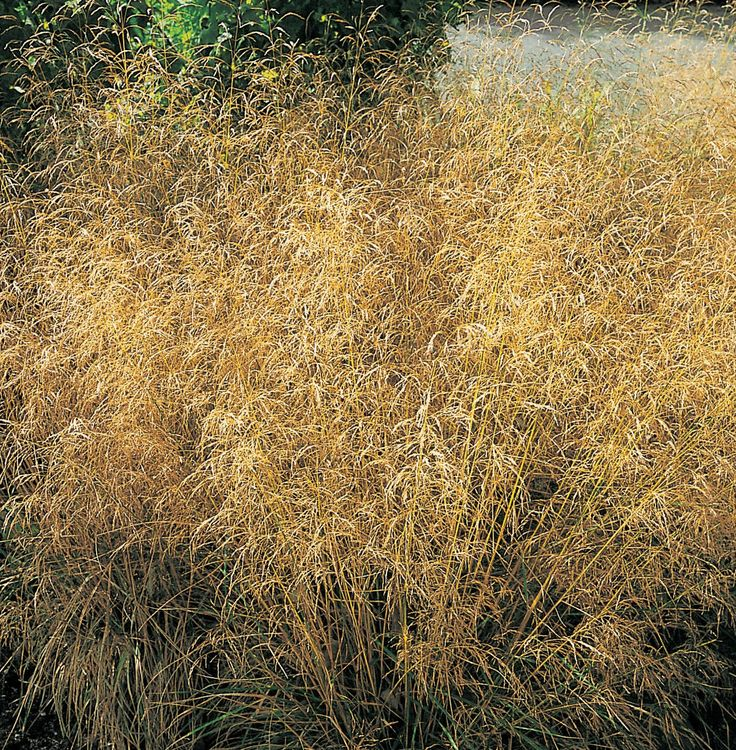 Coming next year to the nursery is Deschampsia cespitosa 'Goldtau' a tufted hair grass also known as 'Golden dew'. This hardy perennial is a fountain-shaped grass with silver, reddish-brown flower spikes from early to late summer turning to golden yellow.