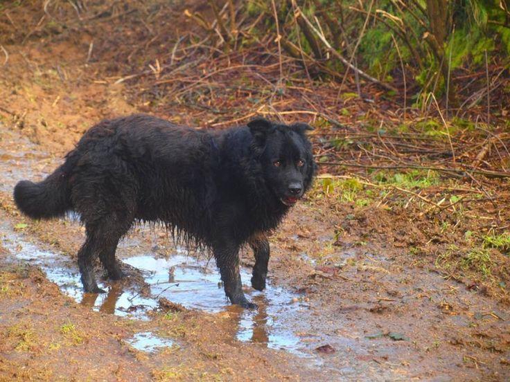 CAPRI, croisé labrador/terre neuve mâle de 7 ans à l'adoption