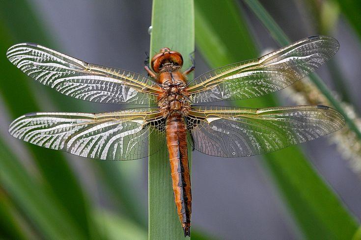 """Résultat de recherche d'images pour """"libellule"""""""